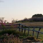 秋元牧場のコスモス