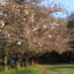 残桜#FA77